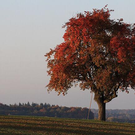 Herbstlich rot gefärbter Baum.